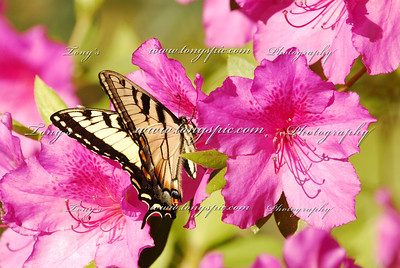 "The Tiger Swallowtail butterfly (Papilio glaucas) is a strong flier with distinctive yellow and black striped markings on its wings and body (some females are brown or black, mimicking the poisonous pipevine swallowtail). This relatively common butterfly has a wingspan of 3.5-6.5 inches (9-16.5 cm). Southern subspecies are larger than the northern ones. These butterflies are called swallowtails because they have long ""tails"" on their hindwings which look a bit like the long, pointed tails of swallows (a type of bird)."