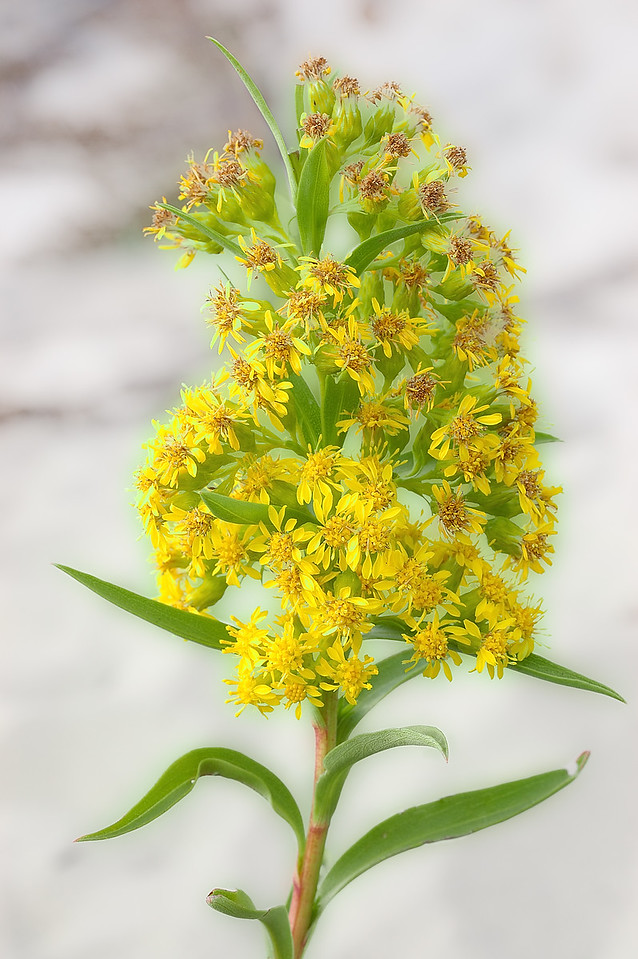 Sweet goldenrod (Solidago odora)