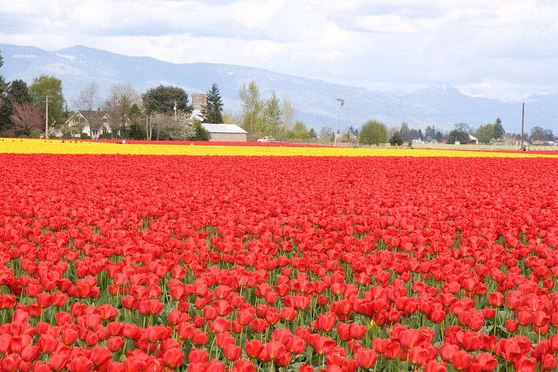 A field of red and yellow tulips in Skagit County Washington