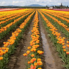 Rows of multi-colored tulips at the Skagit Count tulip festival