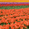 Rows and Rows and Rows of Tulips