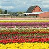 Tulips in front of a barn at Tulip Town in Skagit County