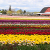 Rows and rows of tulips