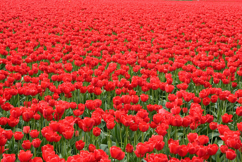 A field full of red tulips