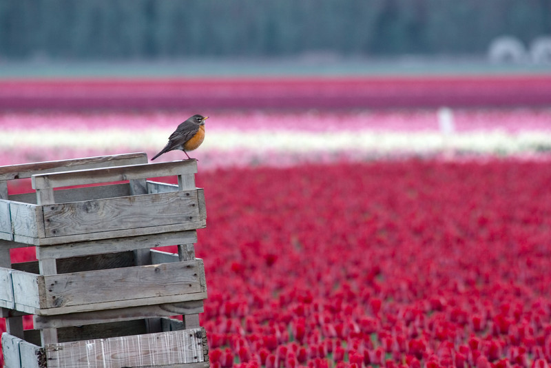 This robin is overlooking the red tulip field.