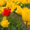 "Two red tulips grow among the yellow ones.  My submission for the Photo Friday challenge ""Rare"".  A rare red tulip in a sea of yellow ones."