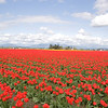 Massive amounts of red tulips in Skagit County