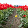 A lone yellow daffodil grows among millions of red tulips.