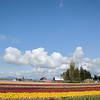 Cumulus clouds high above the rows of tulips