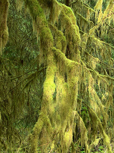 Hoh Rainforest, Olympic National Park, Washington (2)