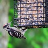 Downy Woodpecker (15)