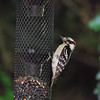 Downy Woodpecker (11)