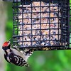 Downy Woodpecker (14)