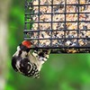 Downy Woodpecker (16)