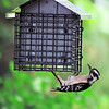 Downy Woodpecker (13)