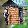 Downy Woodpecker (10)