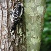 Downy Woodpecker (9)
