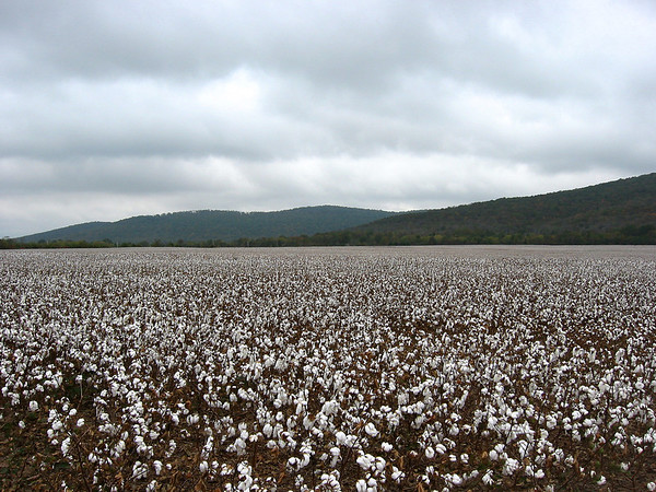 Cotton Field (1)