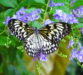 Butterfly (18)