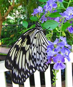 Butterfly (19)