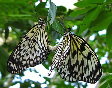 Butterfly (21)