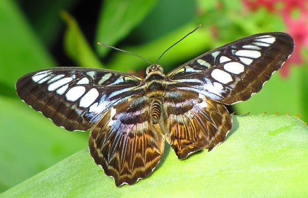 Butterfly (23)