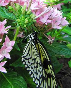 Butterfly (20)