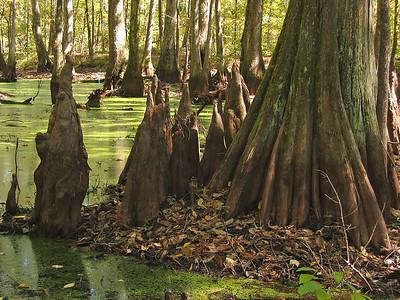Cypress Swamp Natchez Trace Parkway, Mississippi (19)