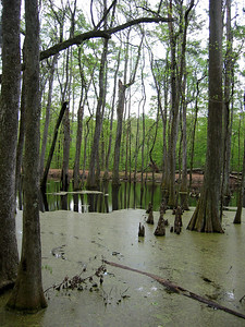 Cypress Swamp Natchez Trace Parkway, Mississippi (8)