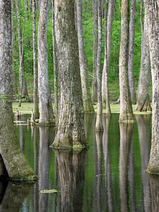 Cypress Swamp Natchez Trace Parkway, Mississippi (12)