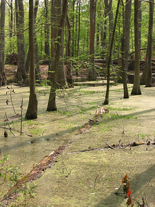 Cypress Swamp Natchez Trace Parkway, Mississippi (9)