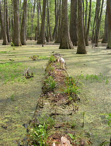 Cypress Swamp Natchez Trace Parkway, Mississippi (5)