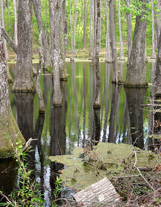 Cypress Swamp Natchez Trace Parkway, Mississippi (11)