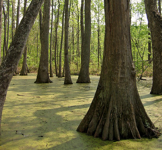 Cypress Swamp Natchez Trace Parkway, Mississippi (16)