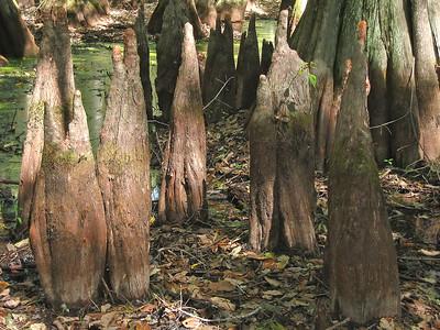 Cypress Swamp Natchez Trace Parkway, Mississippi (18)