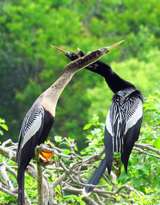 Anhinga (female and male) (2)