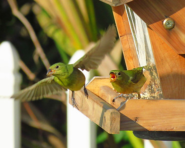 Painted Bunting (female) (2)
