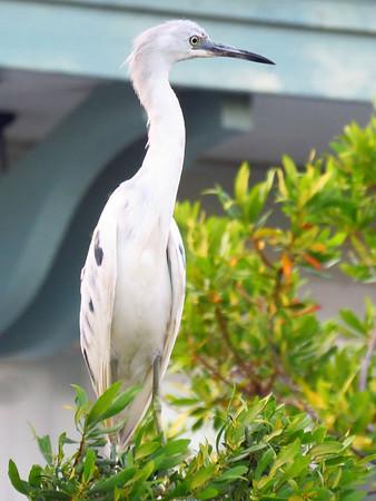 Heron (juvenile) (1)