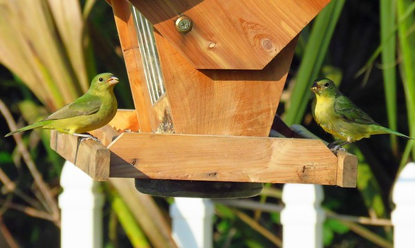 Painted Bunting (female) (1)