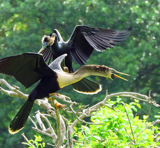 Anhinga (female and male) (3)