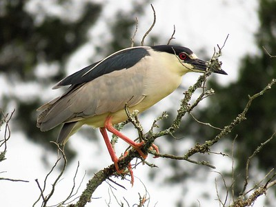 Night Heron (1)