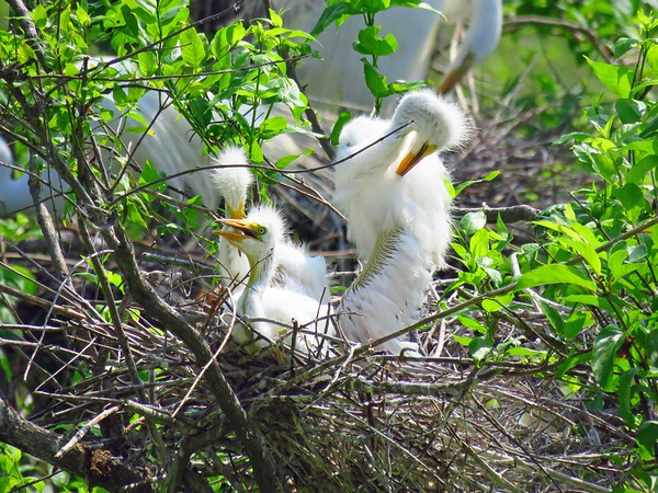 Great Egret (7)