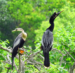 Anhinga (female and male) (1)