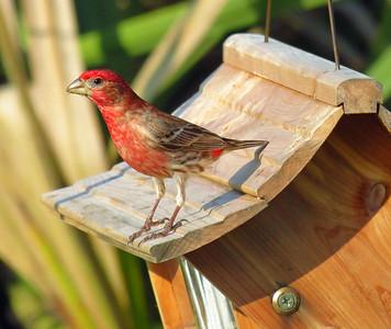 Finch (2)