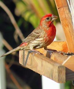 Finch (1)