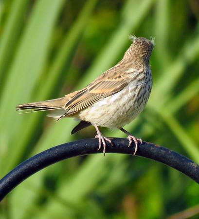 Finch (3)
