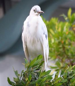 Heron (juvenile) (2)