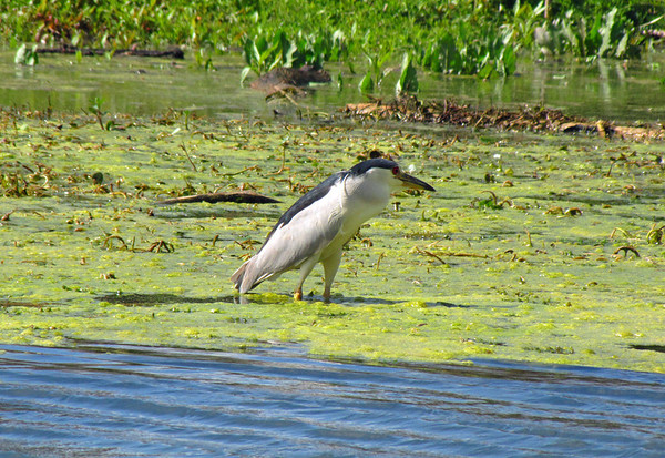 Black-Crowned Night Heron, Brazos Bend State Park, Texas