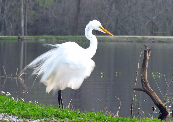 Great Egret, Brazos Bend State Park, Texas (3)