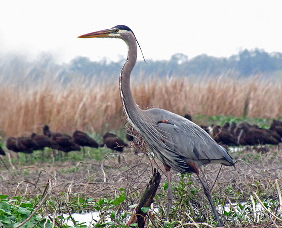 Great Blue Heron, Brazos Bend State Park, Texas (1)